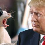 """chattes-chats-donald-trump-cat-150x150 Pérou : Un imam s'oppose à la consommation de Cochons d'Inde : """"d'Inde ou d'ailleurs le porc est haram"""""""