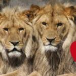 lions-mariage-gay-homo-secretnews-1-150x150 Horreur au zoo de Maubeuge : un dromadaire mange une visiteuse qui prenait un selfie