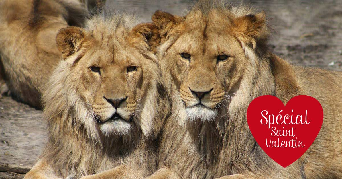 Premier mariage gay animalier : union de 2 lions au Zoo d'Anvers (Belgique)
