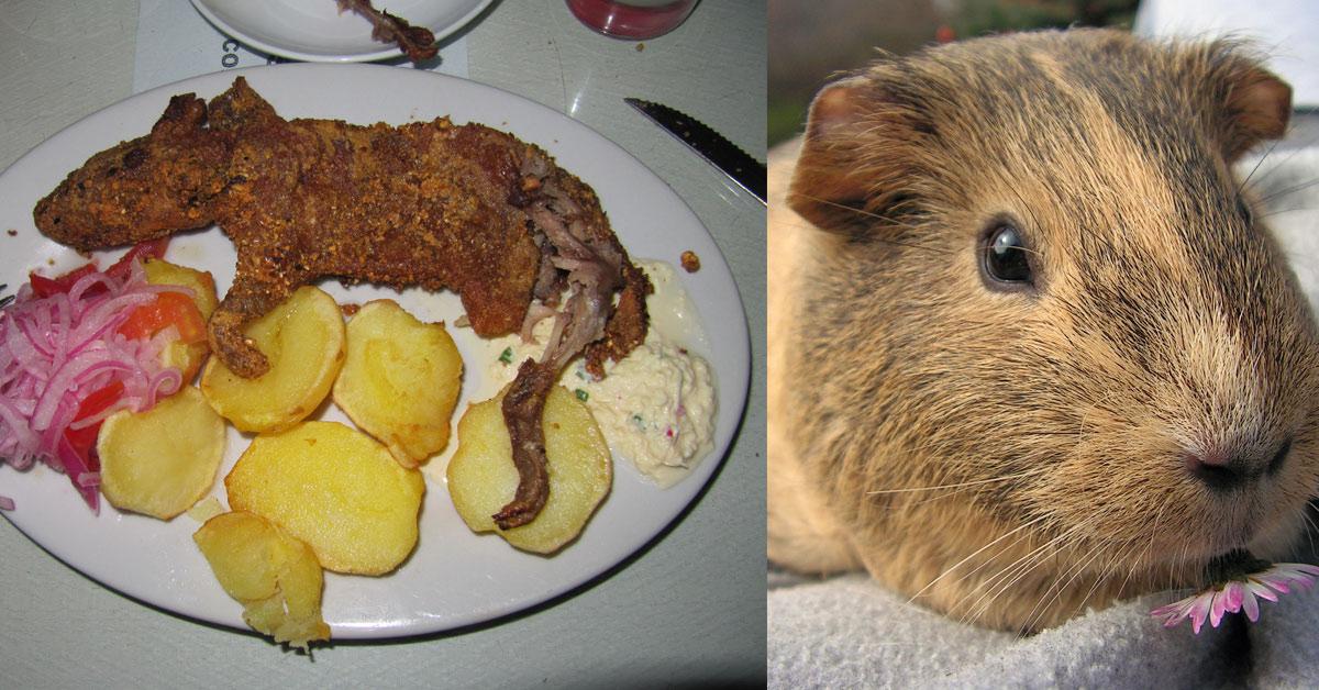 """Pérou : Un imam s'oppose à la consommation de Cochons d'Inde : """"d'Inde ou d'ailleurs le porc est haram"""""""