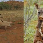 croisement-cochon-porc-kangourou-kangaroo-pig-150x150 Le sienche gabonais : premier croisement réussi entre un chien et un chimpanzé, développé pour le déminage antiterroriste