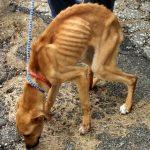 o-STARVED-DOG-facebook-150x150 De la viande de chiens bientôt vendue dans la première boucherie canine de France