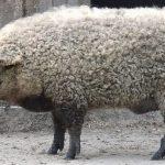 """mouton-cochon-porc-halal-150x150 Pérou : Un imam s'oppose à la consommation de Cochons d'Inde : """"d'Inde ou d'ailleurs le porc est haram"""""""