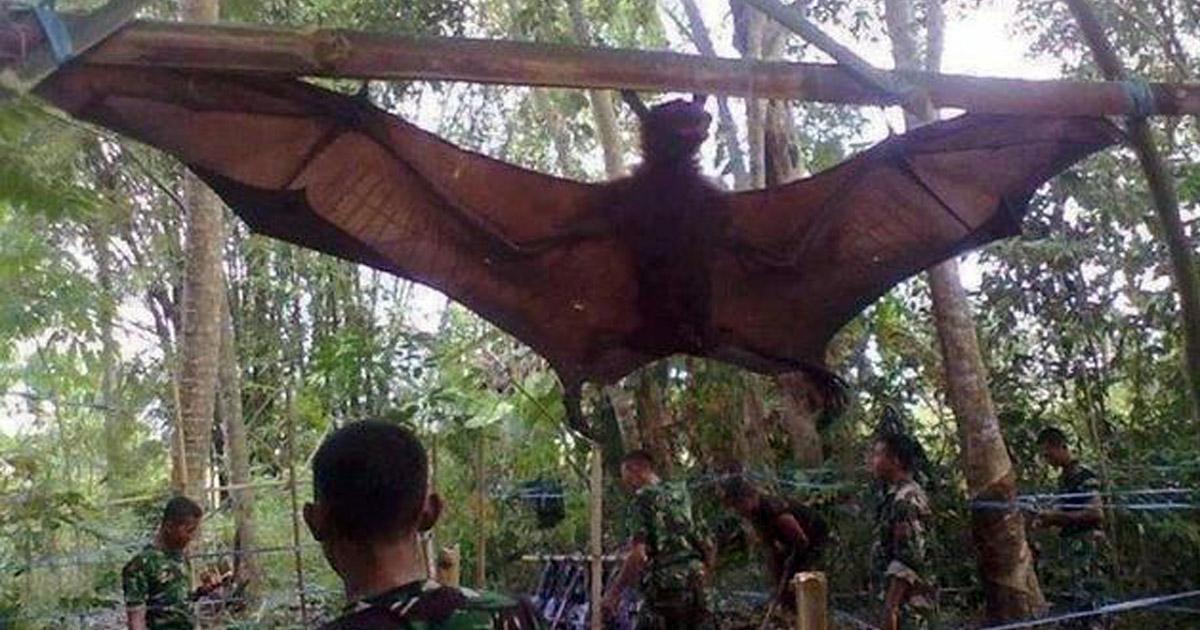 L'armée indonésienne capture une chauve-souris géante issue de manipulations génétiques américaines