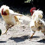 coupe-monde-football-poulets-vollailles-poules-150x150 L'Arabie Saoudite organisera la coupe du monde féministe de footballeuses à gros seins en 2023
