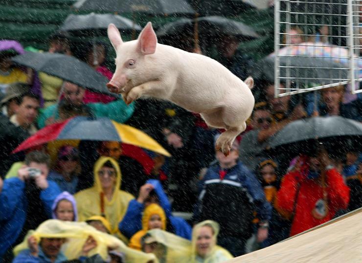 lancer-de-cochon-porc-vole-volant-flying-pig #Balancetonporc, oui, mais #regletacotisation : La Fédération Internationale du Lancer de Cochon dénonce un manque à gagner