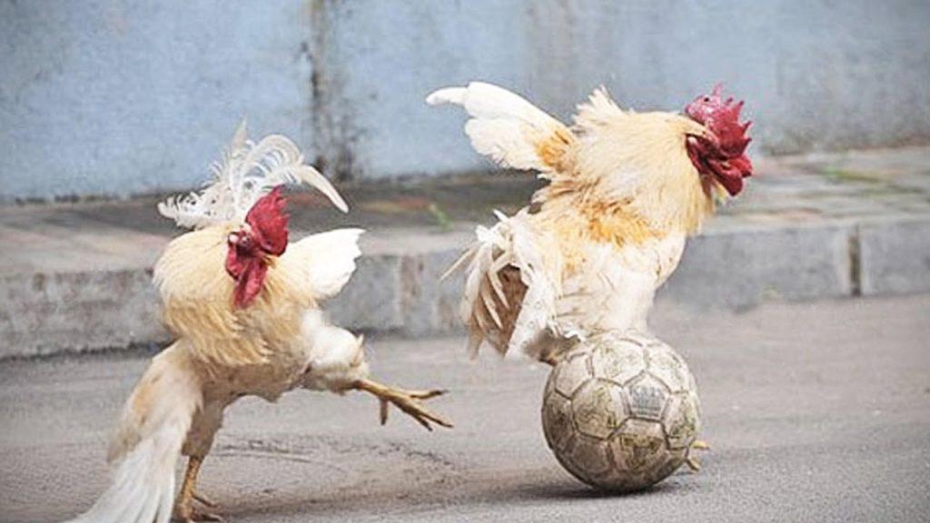 maxresdefault-1024x576 Chicken Football : La France organisera le mondial « poules & volailles » en 2025