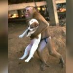 somalie-attentat-singe-sauve-chien-secretnews-150x150 Le sienche gabonais : premier croisement réussi entre un chien et un chimpanzé, développé pour le déminage antiterroriste