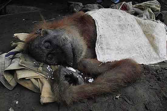 00-prostitution-orang-outan-singe-2 Zoophilie en France : un restaurant vietnamien prostituait un orang-outan dans la cave de l'établissement