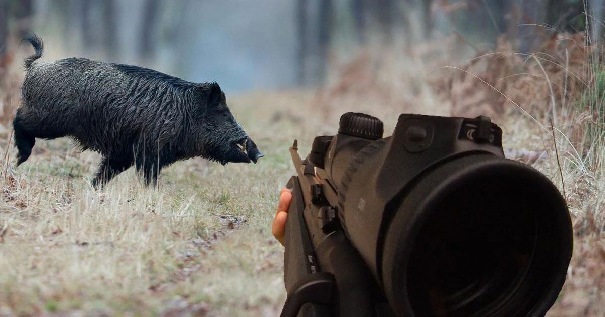 Nouvel accident de chasse: croyant tirer sur un humain, il tue un sanglier par inadvertance