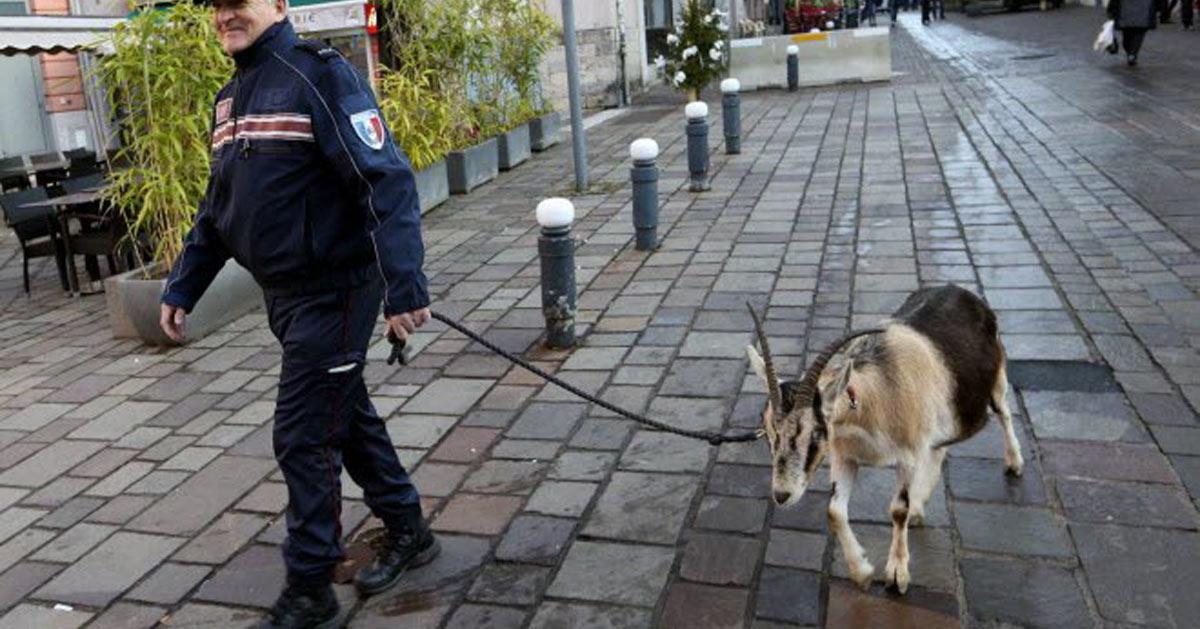Nice : une chèvre policière fait tomber tout un trafic de drogue