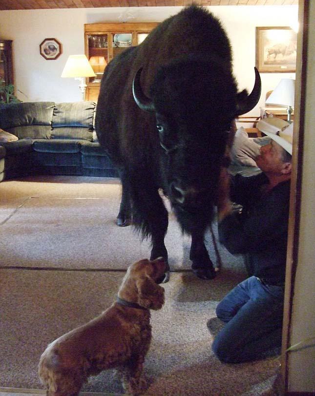 """bison-maison-1 Il passe deux ans à élever son """"chien"""" avant de se rendre compte que c'est un bison"""