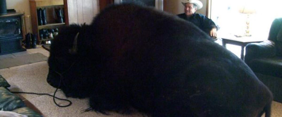 """Il passe deux ans à élever son """"chien"""" avant de se rendre compte que c'est un bison"""