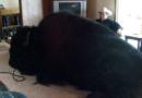 Il passe deux ans à élever son «chien» avant de se rendre compte que c'est un bison