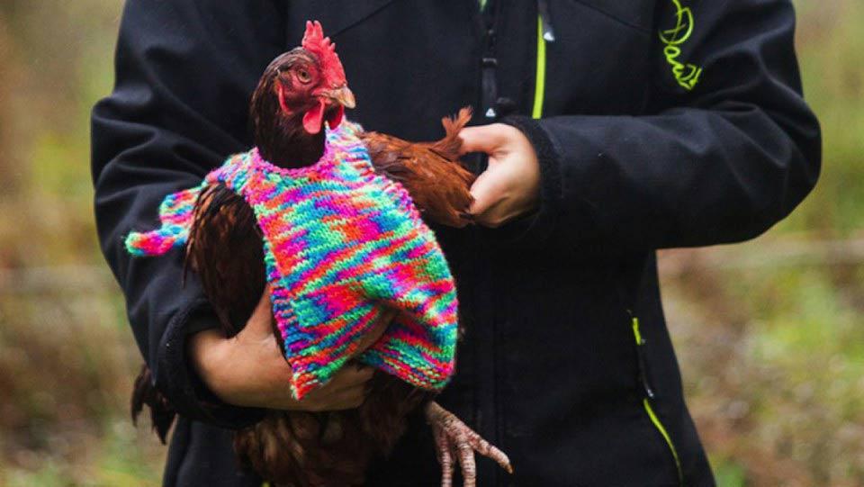 """poule-vetement Brigitte Macron tricote des vêtements pour aider les poules """"Sans Poulailler Fixe"""""""