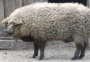 Arnaque au Halal : 30% des moutons vendus en France sont en fait des porcs laineux autrichiens
