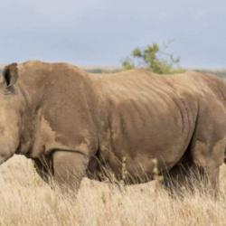 Des rhinocéros siamois reliés par le ventre séparés après une longue opération au Kenya