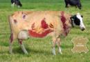 Incroyable ! Cet éleveur produit du cuir sans tuer ses vaches …