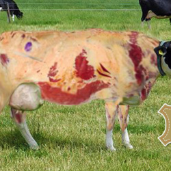 Incroyable ! Cet éleveur produit du cuir sans tuer ses vaches ...