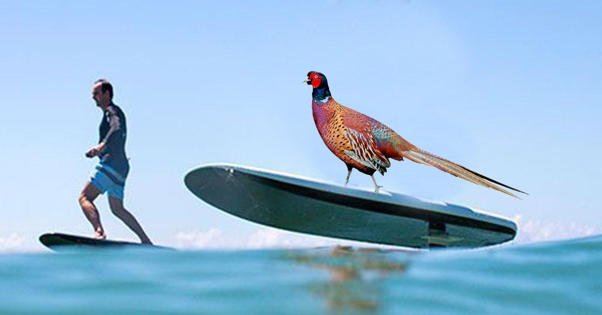surf-faisan-chasse CHASSE :  une formation obligatoire pour apprendre à différencier un vélo d'un sanglier