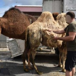 Pacte de Marrakech : la France obligée de réserver 10% des places de parking aux chameaux des migrants